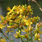 Sarı Kantaron Depresyon ve Anksiyeteye İyi Geliyor